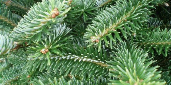 Fraser Fir | Best Smelling Christmas Tree