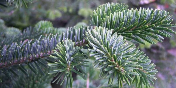 nordam fir| Best Smelling Christmas Tree