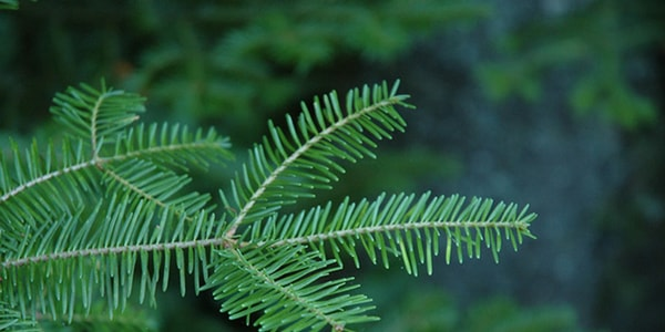 Balsam Fir Best Smelling Christmas Tree