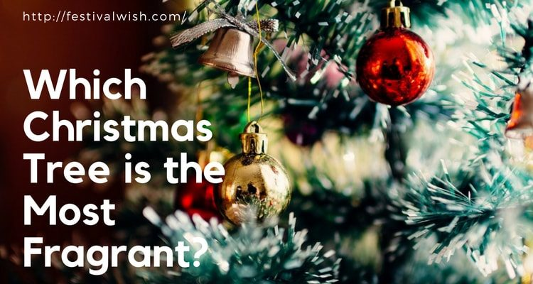 Which Christmas Tree is the Most Fragrant? The Best Smelling Christmas Tree!!!