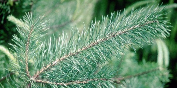 Scotch Pine | Best Smelling Christmas tree